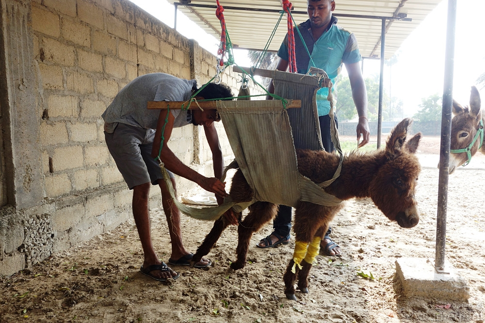 The Donkey Clinic, a project by Bridging Lanka , a diaspora community based in Australia. (photo credit: Bridging Lanka)