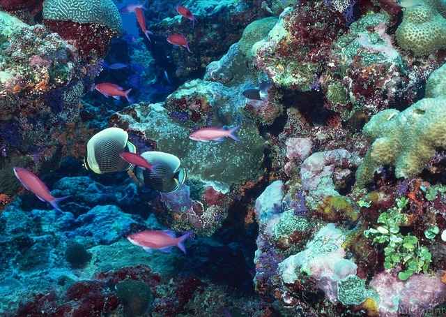 A natural coral reef. Scientists believe that similar artificial reefs will increase marine resources and deter unfair fishing practices such as bottom trawling. (picture courtesy Pixabay)