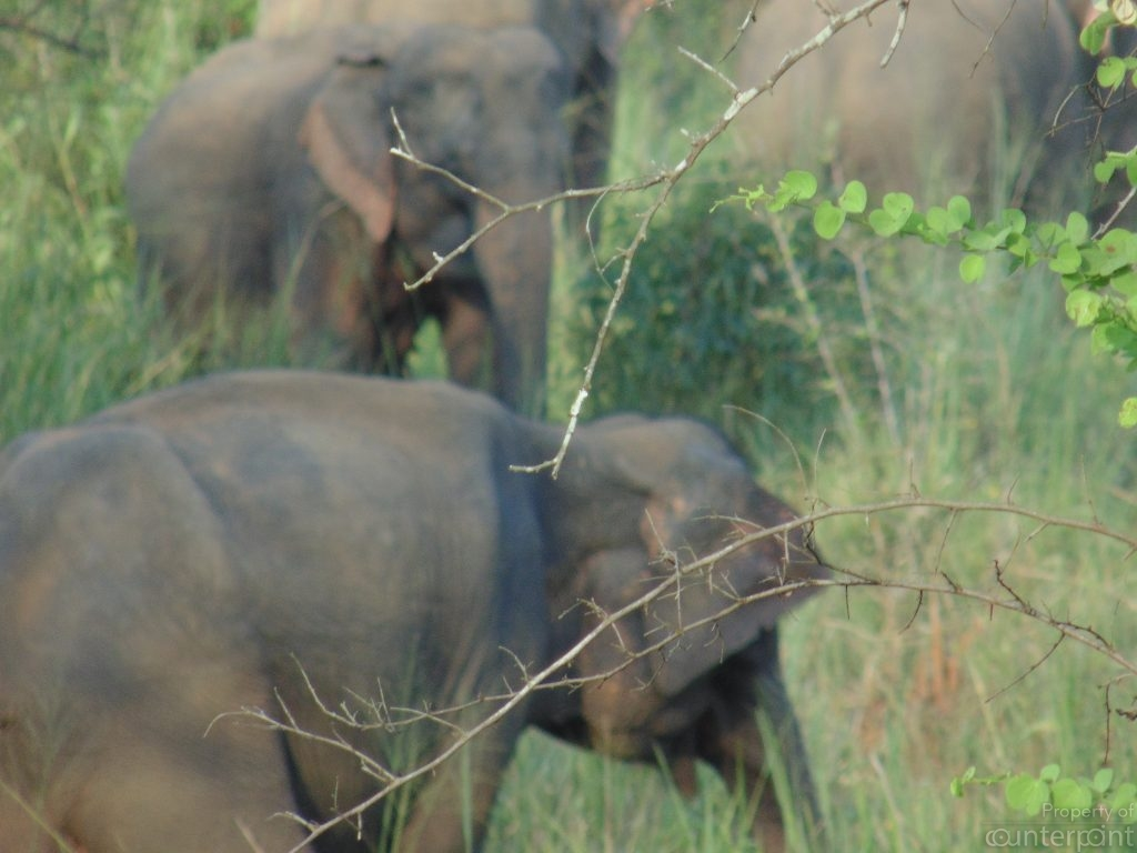 Elephants raid villages in search of food, when they cannot find enough to eat in the wilds.
