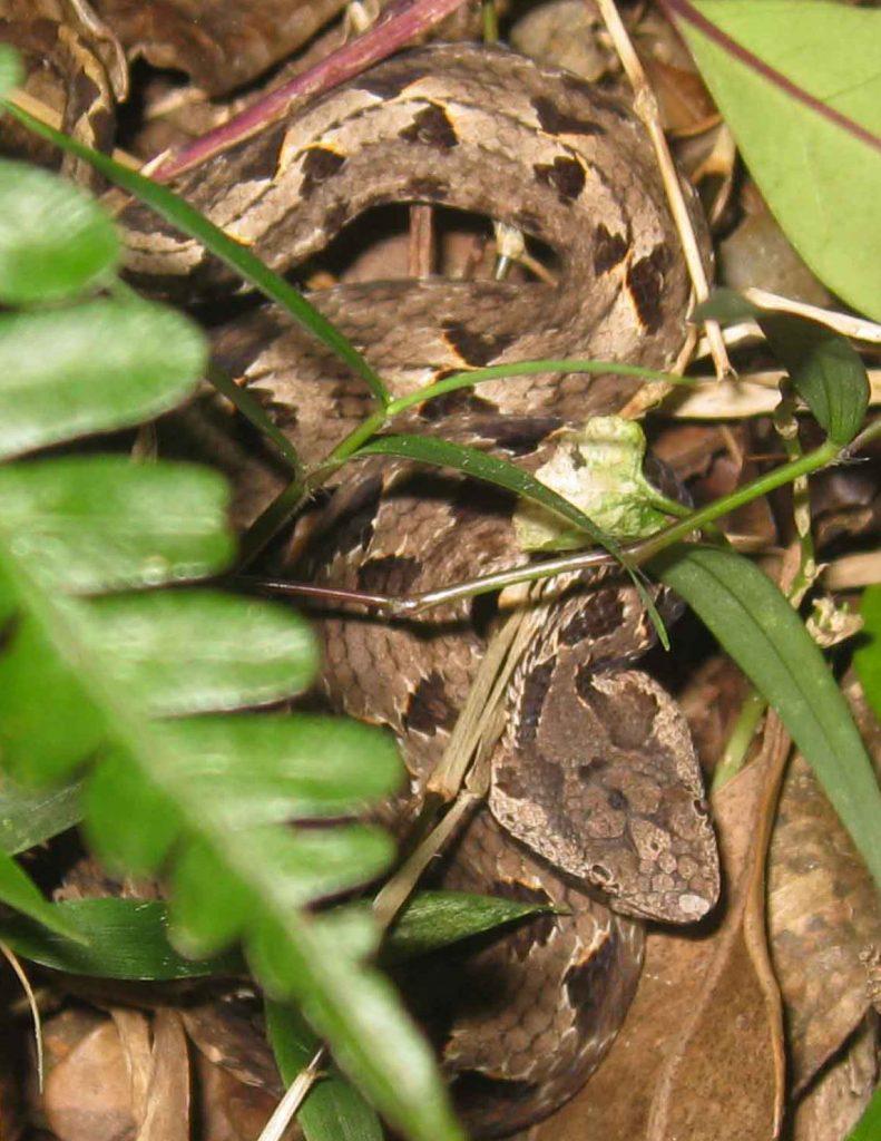 Hump-nosed viper