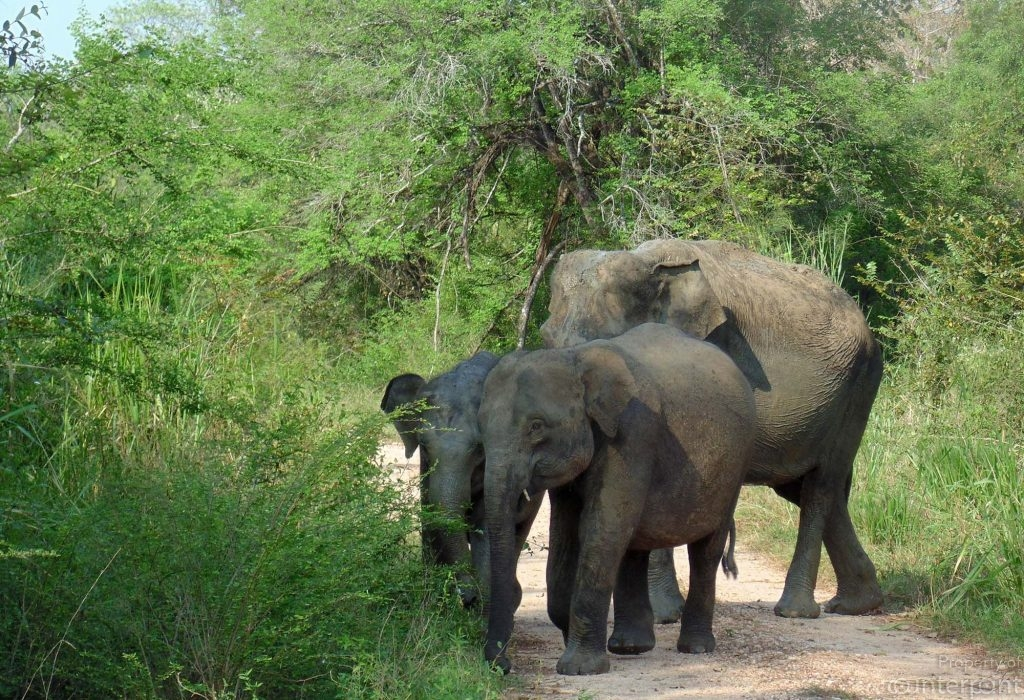 Sri Lanka's elephants live within a small home range and are not given to long migratory patterns