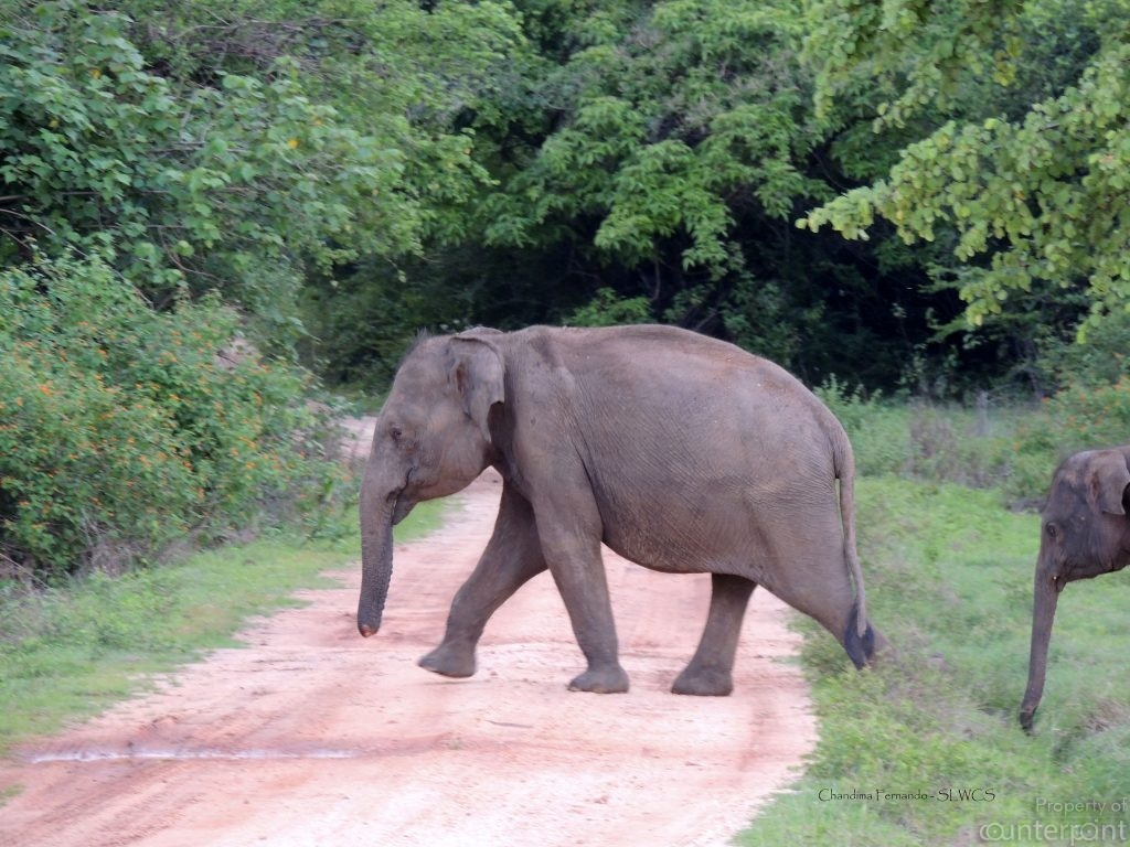 When a trunk is injured by a snare, an elephant could starve to death. (courtesy SLWCS)