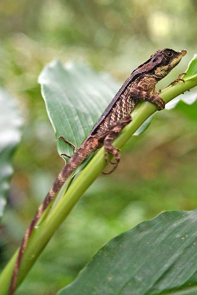 Leaf-horned lizard