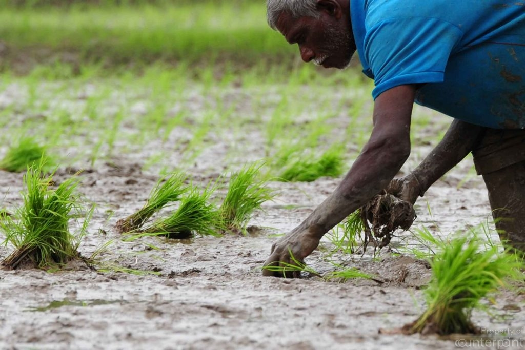 A Sri Lankan farmer work in the paddy fields in Colombo on November 11, 2014. Sri Lanka's economy has recorded eight percent-plus growth for two straight years after security forces crushed separatist Tamil Tiger rebels in May 2009, but growth has slipped since. AFP PHOTO / LAKRUWAN WANNIARACHCHI